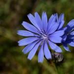 Bachblüte Chicory bei Heilpraktiker Nürnberg