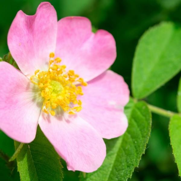 Wild Rose Bachblüte